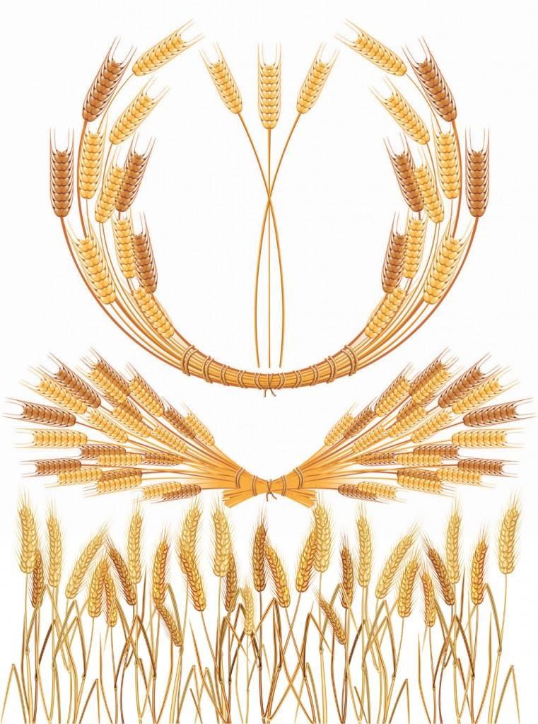 Золотая пшеница - векторные исходники